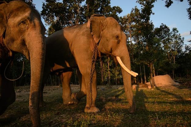 タイのアジアゾウのグループ