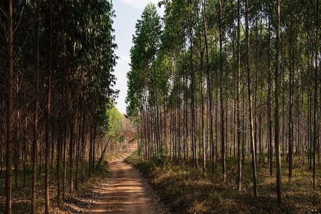 東部プラチンブリの丘陵斜面からガムの木やユーカリの木