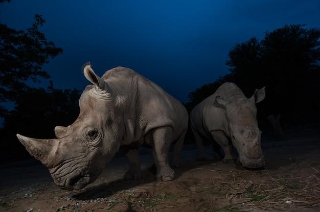 На этом изображении стоят два белых носорога.