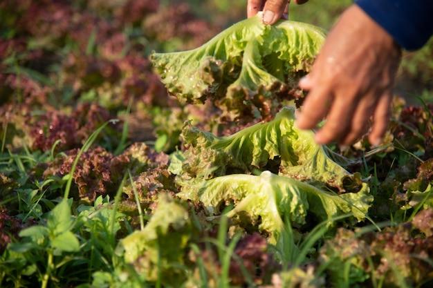 有機野菜畑、タイにおける安全食品の将来の農業