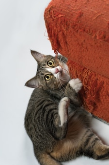 Кошка царапает диван в доме.