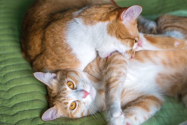 Две оранжевые кошки играют в постели.