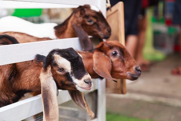 白いフェンスの後ろに未成年のヤギの子供たち