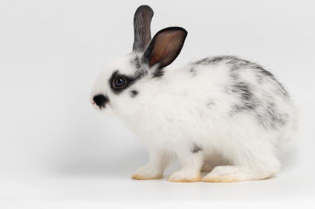 スタジオで孤立した白い背景の上に座って横にある小さなウサギ。