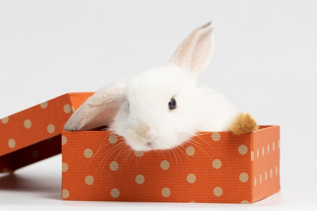 スタジオで孤立した白い背景とオレンジ色のギフトボックスの上に座っている小さな白いウサギ。