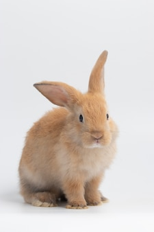 スタジオで孤立した白い背景の上に座っている小さな茶色のウサギ。