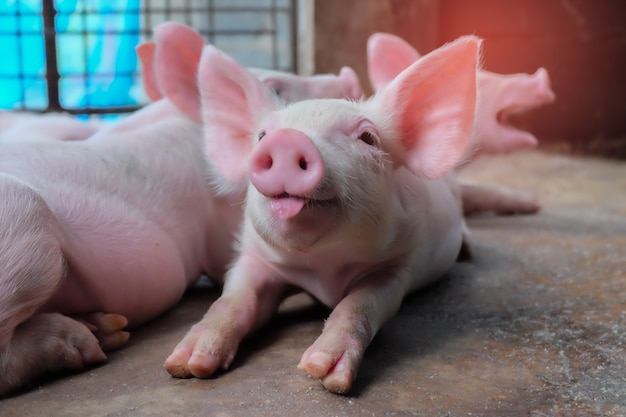 農場で小豚の舌が見える。哺乳類の室内待機用飼料のグループ。