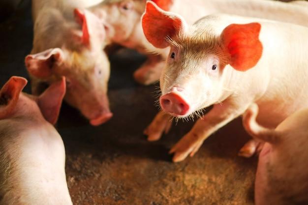Маленький поросенок спит на ферме. группа кормушек для кормления свиней.