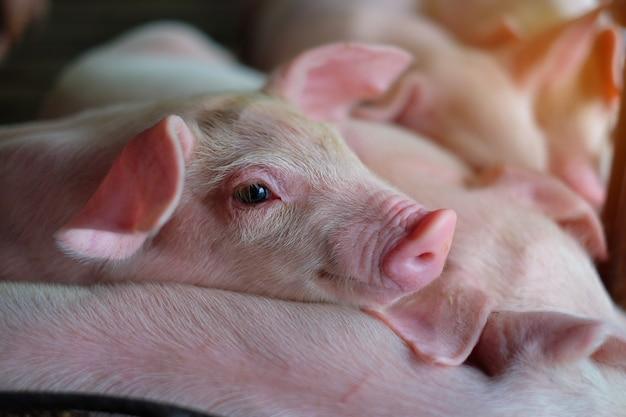 Пятачок ожидания корма. свиньи на ферме в таиланде.
