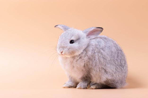 スタジオで孤立したピンクのバラの背景の上に座って小さなウサギ