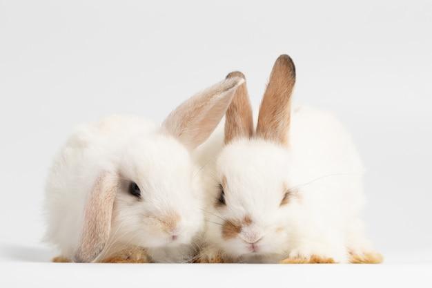 スタジオで孤立した白い背景の上に座っている小さなカップルウサギ。