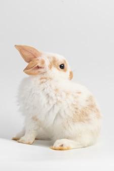 スタジオで孤立した白い背景の上に座っている小さな白いウサギ。
