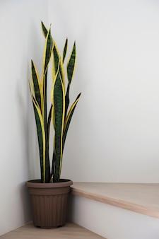 Сансевиерия или змеиное растение на лестнице в доме