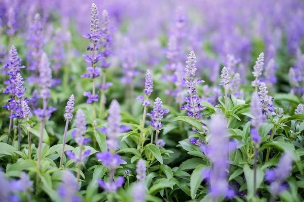 庭の青いサルビア紫の花