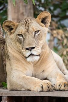 動物園のライオン