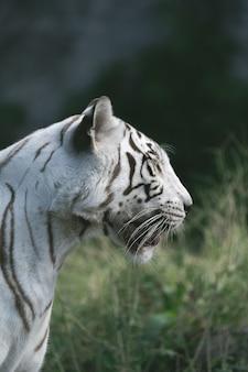 Белый тигр в зоопарке ждет обслуживающего персонала.