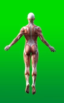 Мужские фигуры представляют собой кожу и карту мышц изолируют на зеленом фоне