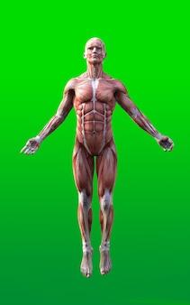 緑の背景に孤立した肌と筋肉マップを持つ男性の姿勢