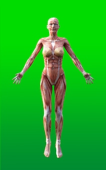 緑の背景に孤立した皮膚と筋肉マップを持つ女性図ポーズ