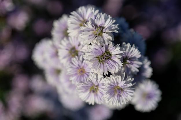 紫マーガレットの花畑のクローズアップ。