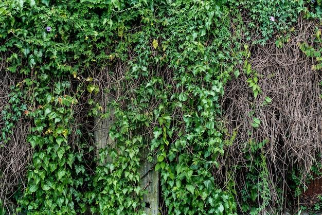 つる支店の壁、自然の背景に