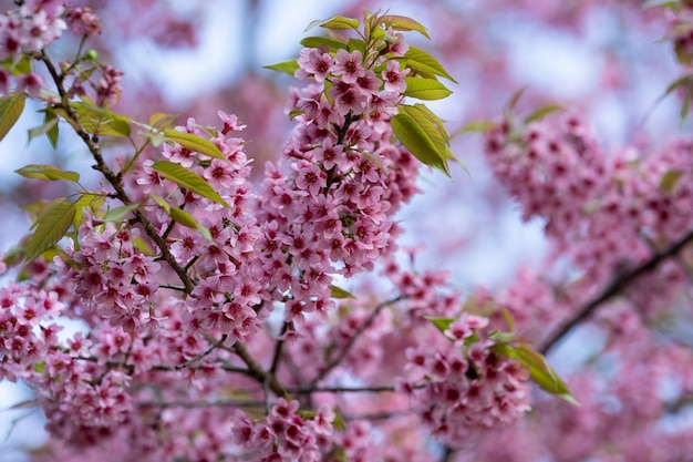 冬に咲く美しいピンクの桜の花(タイさくら)
