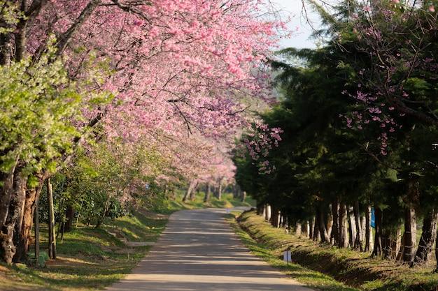 Красивая тропа из розовых цветов сакуры (тайская сакура) цветущих в зимний сезон