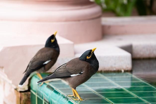 プールの近くの共通九官鳥トリスティス。