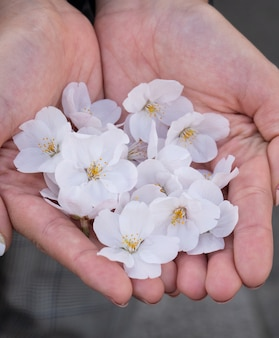 ピンクの桜の花を手に