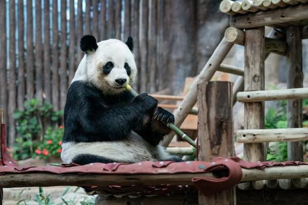 ジャイアントパンダは公園で竹を食べる。