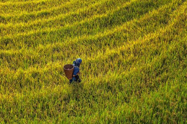 農家は棚田を歩いています。