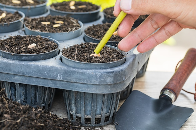 Семена канталупы в лотке для прорастания с темной плодородной почвой.