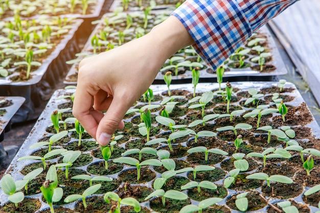 温室内での種子による植物繁殖。農業と食品生産のコンセプト。