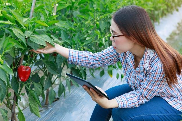 品質のピーマンの植物をチェックしている少女は、タブレットで。農業と食品生産のコンセプト。
