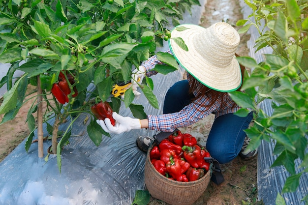 若い女の子の農夫収穫ピーマン。農業と食品生産のコンセプト。