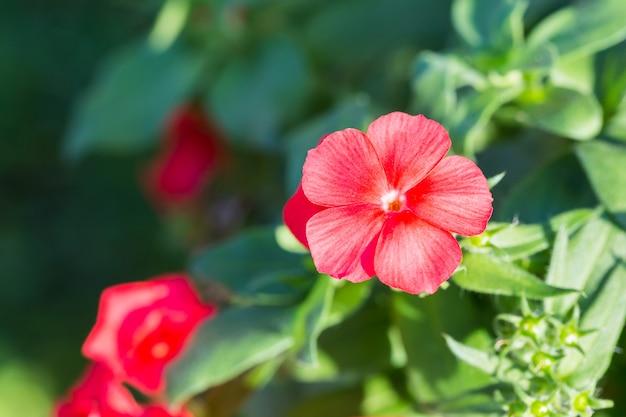 Красный цветок гибискуса, цветущий в лучах утреннего солнца