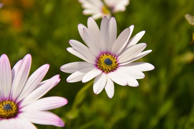 夏ピンクカモミールの花ブッシュ。庭は花を生きています。