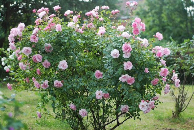 夏の庭の美しいピンクのバラの花ブッシュ。