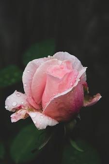 ピンクのバラの暗い写真。水滴のある庭からトーン、スタイルのヴィンテージライブローズ。ローズとグリーティングカード。