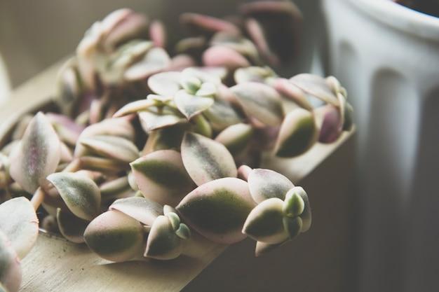 多肉植物、暗い写真、トーンのエケベリア多肉植物のロゼットを閉じます。
