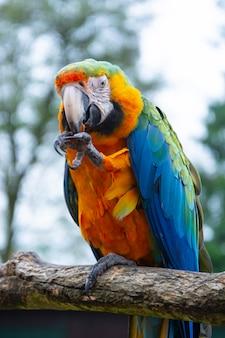 Попугай ара на ветвях, синий желтый красочные попугаи в зоопарке.