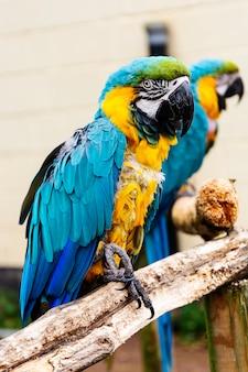 Попугаи ары на ветвях, голубые желтые красочные попугаи в зоопарке.
