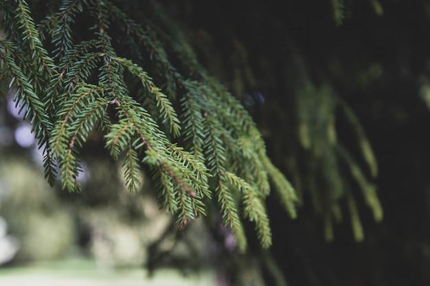 モミの木のブランチ。セレクティブフォーカス。