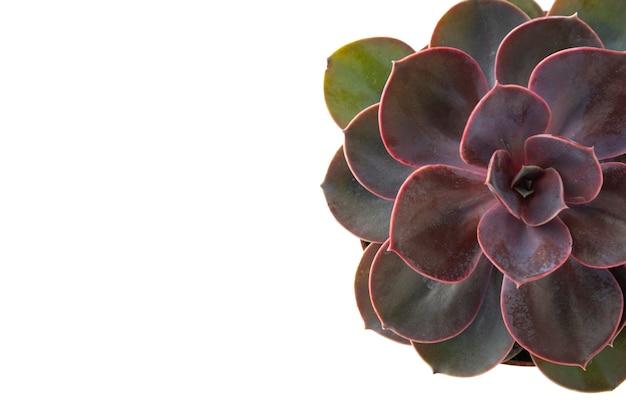 ピンクの多肉分離エケベリアダスティローズ。