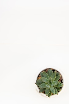 白い机の背景に分離されたエケベリア多肉植物。仕事台。