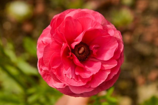 ピンクのラナンキュラスの花は晴れた日に庭で成長しています。クローズアップフクシアの花。