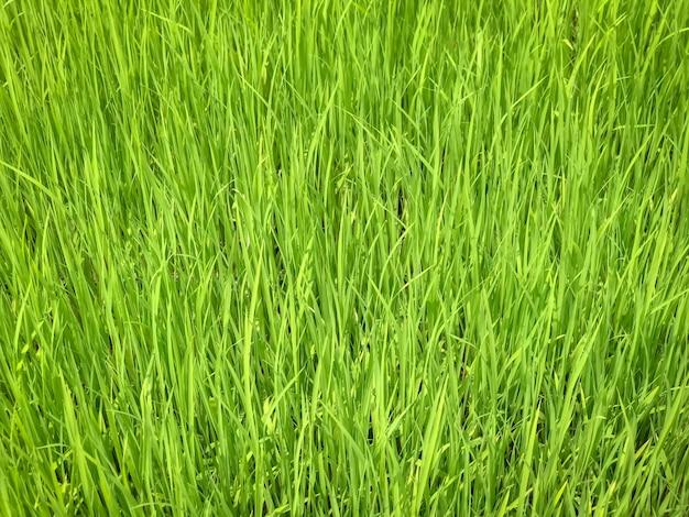 水田の緑の苗の葉のクローズアップ