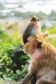 アジア猿の顔のクローズアップ側。