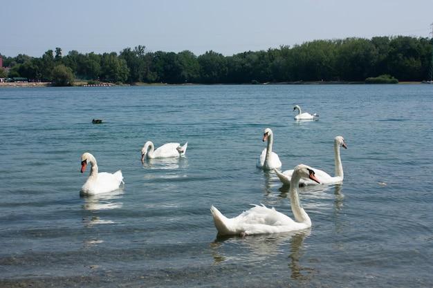 川にかわいい白鳥