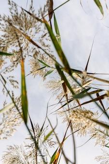 青い空を背景にした湿った土から見た葦の茎と種